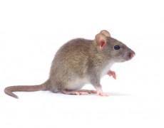 Ratti e topi